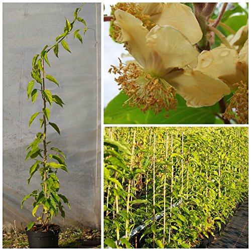 Grüner Garten Shop Bayernkiwi, männliche Kiwipflanze, Kiwi Actinidia arguta, Befruchterpflanze, 3 Liter Topf, 60-100 cm