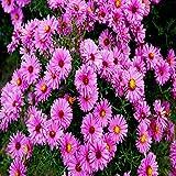 Kissen Aster dumosus rosa - 3 pflanzen
