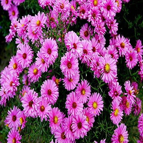 Kissen Aster dumosus rosa - 3 pflanzen (Rabatt-kissen)