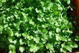 #4: Bombay Seeds Hybrid Coriander Dhania Seeds (Pack of 4)