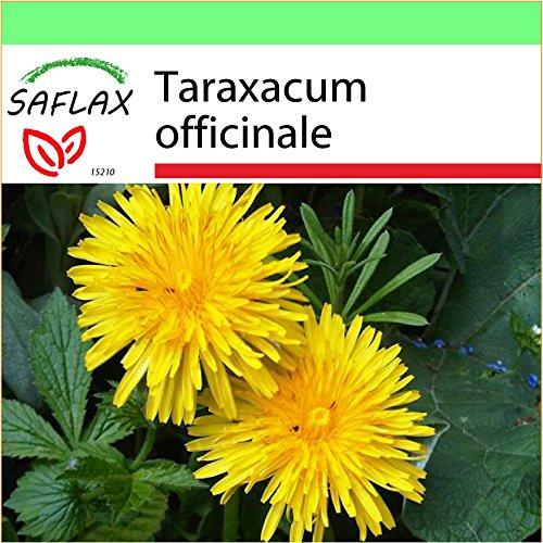 SAFLAX - Jardin dans la boîte - Pissenlit - 200 graines - Taraxacum officinale