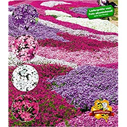 "BALDUR-Garten Winterharter Bodendecker Phlox-Mix""Flowers of the Sea"" Polsterphlox Polster-Flammenblume Polsterstauden Teppichphlox Moosphlox mehrjährig, 4 Pflanzen Phlox subulata"