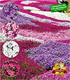 BALDUR-Garten Winterharter Bodendecker Phlox-Mix'Flowers of the Sea' Polsterphlox Polster-Flammenblume Polsterstauden Teppichphlox Moosphlox mehrjährig, 4 Pflanzen Phlox subulata