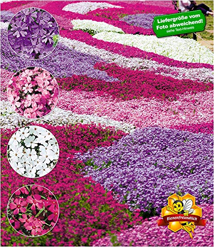 BALDUR-Garten Winterharter Bodendecker Phlox-Mix'Flowers of the Sea' Polsterphlox Polster-Flammenblume Polsterstauden Teppichphlox Moosphlox mehrjährig, 4 Pflanzen Phlox...