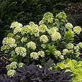 Zwerg-Rispenhortensie Little Lime - Hydrangea paniculata Little Lime im 3 Liter Container - Limonengrün bis Rosa Blüten - Qualtitätspflanze von Garten Schlüter
