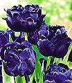 BALDUR-Garten Tulpen 'Blue Diamond', 8 Zwiebeln von Baldur-Garten bei Du und dein Garten