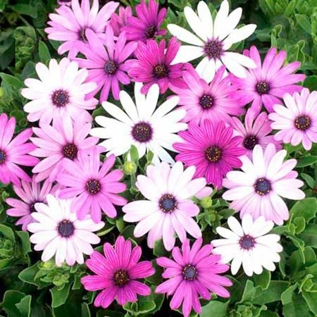 seme 100pcs Ortensia, Hydrangea macrophylla fiori semi di piante, 6NGREA