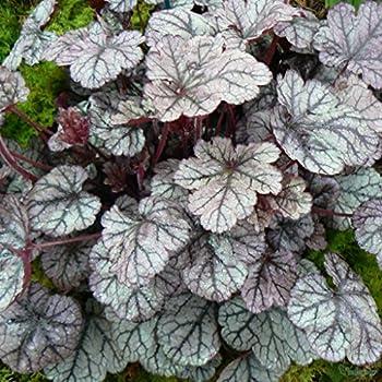 Heuchera /'Berry Smoothie/' plant in a 17cm pot Fabulous Foliage