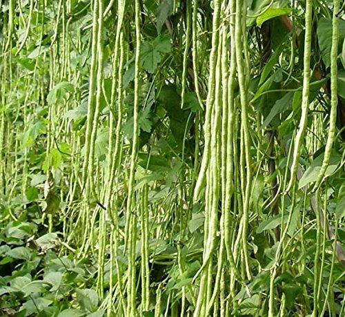 10PCS chinois long haricots Vigna unguiculata Graines long Niébé Serpent Bean Graines de légumes comestibles biologiques Plantes de jardin