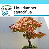 SAFLAX - Geschenk Set - Bonsai - Amerikanischer Amberbaum - 100 Samen - Liquidamber styraciflua