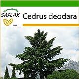 SAFLAX - Himalaya Zeder - 35 Samen - Mit Substrat - Cedrus deodara