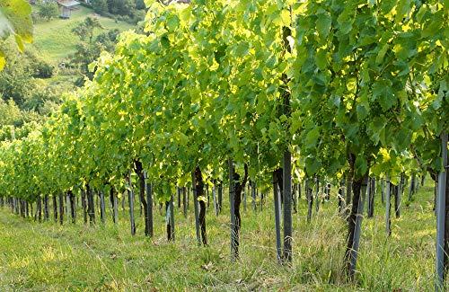 insidehome/Infrarotheizung Bildheizung SLIM/Stahlblech rahmenlos/extra schlank/mit hochwertigem Druck und Schutzlack / 700 Watt - 100x65x1,5 cm/für 11-14 m² / Motiv: Weingarten