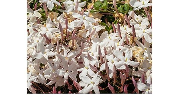 Kolkwitzia amabilis im Container 60-80 cm