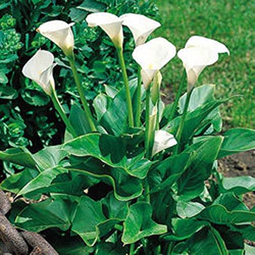 Zantedeschia Aethiopica/ Calla Mehrjährige Blumenzwiebeln