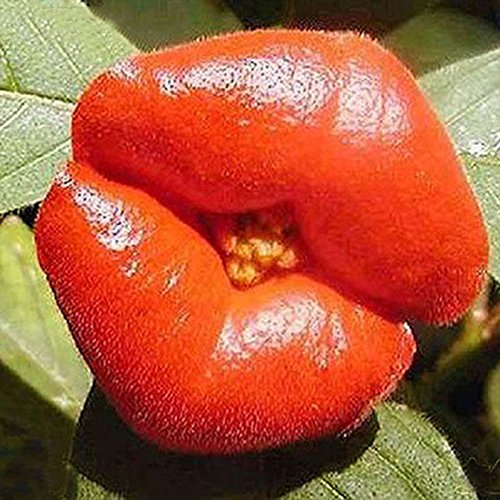 TOPmountain Rote Lippenblumensamen 100 Stück Garten Balkon Pflanzen Samen Dekor