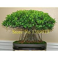 10 Cina semi di albero Banya bonsai