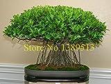 10 china banya Baum Bonsai Samen Chinesische Feige Baumsamen Sementes Bonsai Ginseng Banyan Garden Baum Outdoor Pflanzer
