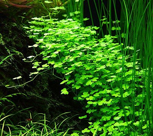 Tropica Hydrocotyle tripartita 1-2-Grow Tissue Culture In Vitro Live Aquarium Plant Shrimp Safe & Snail Free 3