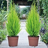 Conifer Tree Outdoor Border Evergreen Cypress Plant Providing Height & Colour to Gardens, Perfect for Hedging or Planting in Pots & Containers 1 x Cupressus Goldcrest in 10.5cm Pot by Thompson & Morgan