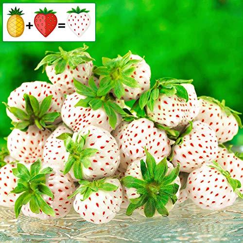 Ultrey Samenshop - 100 Stück Großfruchtig Immertragende Erdbeere Samen zuckersüss aromantisch weiße Ananas-Erdbeere Frucht Obst Samen mehrjährig winterhart für Garten Balkon/Terrasse (Weiss)
