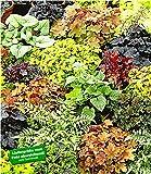 BALDUR-Garten Winterharter Bodendecker Blattschmuck-Raritäten-Mix, 5 Pflanzen Athyrium Gartenfarn, Heuchera Purpurglöckchen, Brunnera Kaukasus-Vergissmeinnicht