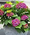 BALDUR-Garten Freiland-Hortensien 'SAXON® Schloss Wackerbarth', 1 Pflanze, Hydrangea macrophylla von Baldur-Garten bei Du und dein Garten