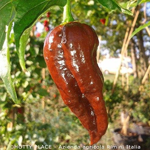 BHUT JOLOKIA CHOCOLATE (india) 10 SEMI PURI peperoncino molto piccante