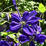 Clematis Mrs Cholmondeley 60-100 cm 2 L Co.