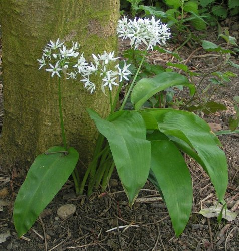 Asklepios-seeds - 100 graines de Allium ursinum,il des ours, ail sauvage,ail des bois