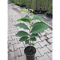 Asimina triloba Sunflower Indianerbanane 30-40 Paupau (Pawpaw)