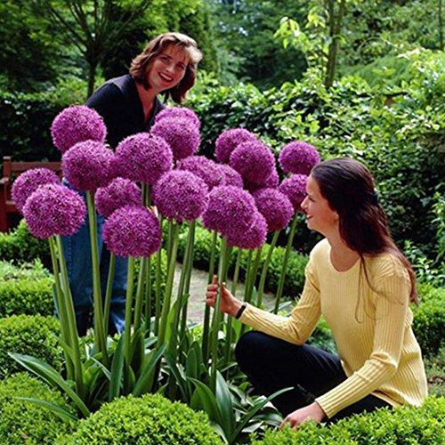 Shoppy Star: 50pcs Riesen Allium Giganteum Zwiebelblumensamen, Vibrierende lila Frühlings-Blumen für Garten Hinterhof Pflanze Dekor -