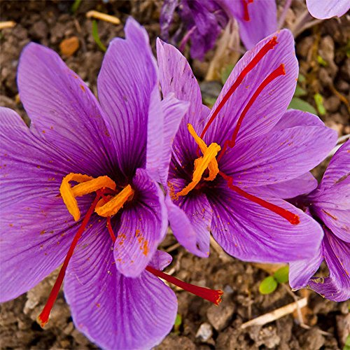 derkoly - semi di zafferano da 8 pezzi, bulbi di zafferano crocus sativus per fiori, facile da coltivare in casa e giardino