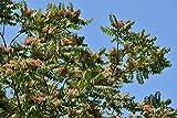 Götterbaum Ailanthus altissima 50 Samen