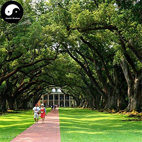 Comprar semillas roble 60pcs planta china Quercus Acuta árbol para Quercus Xiang Shu