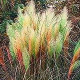 Tomasa 100/1200 Stücke Reed Samen,Pampas Gras Cortaderia Selloana Blume, Seltene Pampasgras -