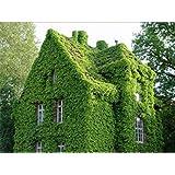 Crecerá 40 unids/bolsa Semillas de hiedra Semillas de enredadera Verde Anti-radiación plantas de ramos de rayos ultravioleta