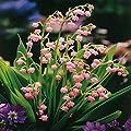 Maiglöckchen rosa von Meingartenshop bei Du und dein Garten