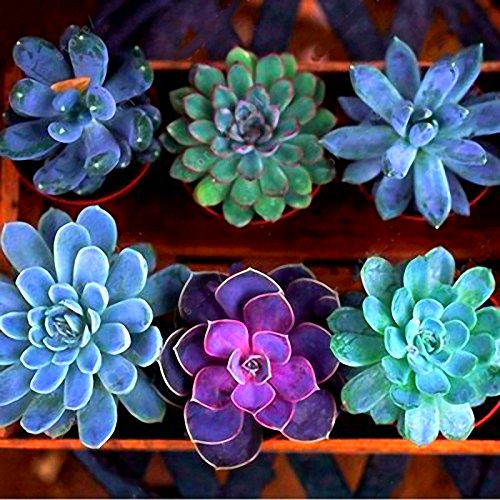 Generic Generische Echeverione Sukkulenten Samen Gemischte Farbe Garten Topfblumensamen Home Deco Bonsai - 200 Stück -