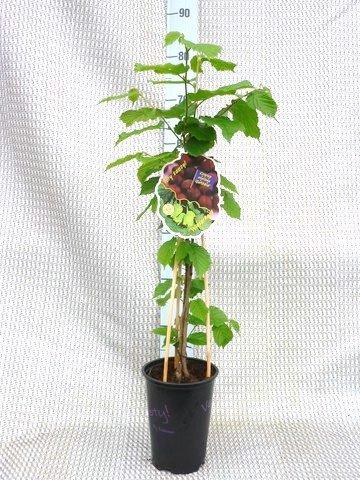 Haselnuss - Corylus avellana Garibaldi - Haselnuss Strauch - Gesamthöhe: 60-80cm Topf: 2 ltr.