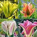 Viridiflora Tulpen Kollektion - 40 blumenzwiebeln von Meingartenshop bei Du und dein Garten