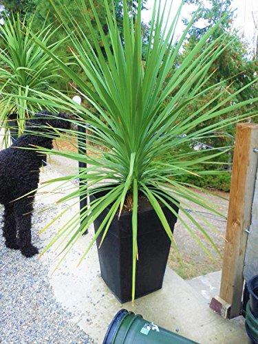 Riesiger Drachenbaum Keulenlilie 150 cm. Höhe für Terrasse oder Wohnräume