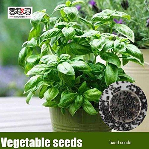 50 particules de plantes aromatiques basilic graines, graines de légumes bonsaï pour la maison