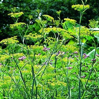 lichtnelke - Fenchel (Foeniculum vulgare) von Lichtnelke Pflanzenversand auf Du und dein Garten