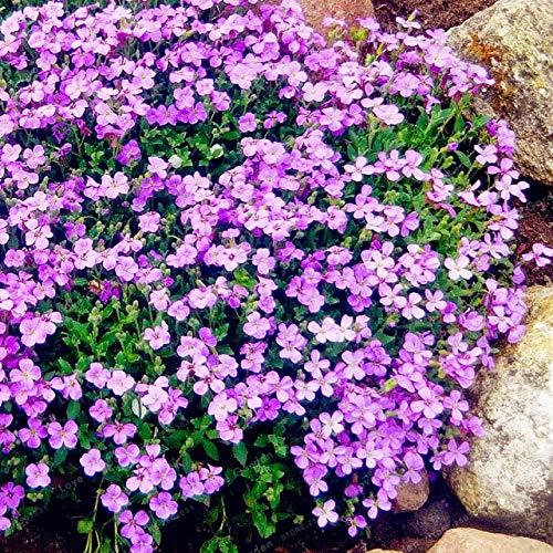 pinkdose 100 timo serpillo bonsai bonsai del fiore rock crescione copertura del terreno vegetale carpet sempreverde pianta facile da coltivare per prato giardino: 2