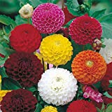 #5: ZINNIA DOUBLE MIXED FLOWER F1 HYBRID SEEDS (LIVE GREEN)