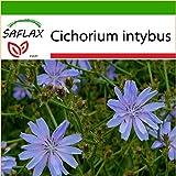 SAFLAX - Heilpflanzen - Wegwarte - 250 Samen - Mit Substrat - Cichorium intybus