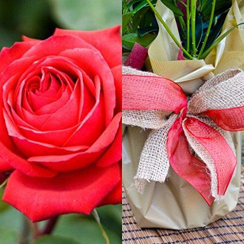 RUBIS Cadeau de mariage Rose – Ruby Anniversary Cadeau de plante – 40th cadeaux de mariage