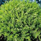 Farn-Fiederpolster - Cotula Squalida - Bodendecker winterhart & immergrün als Rasenersatz - Qualitätspflanze von Garten Schlüter - 3 Stück