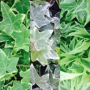 3 x Hedera Ivy Mix in 9cm Pots - English Ivy - Hedera Helix - Evergreen  Shrubs
