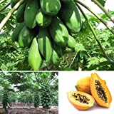 Kisshes 8 Stücke Papaya Kerne Samen Gemüse Obst Obstbaum Pflanzen Saatgut Garten Fruchtsamen